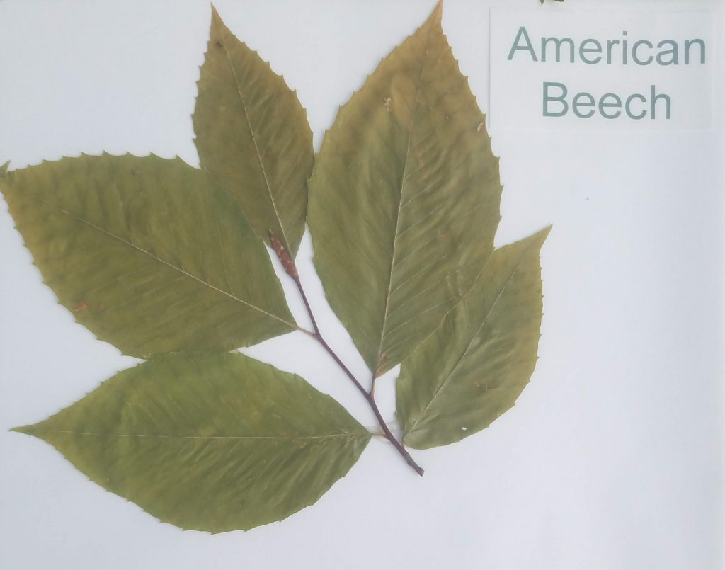 American Beech - Fagus grandifolia - Beech - Pinnate