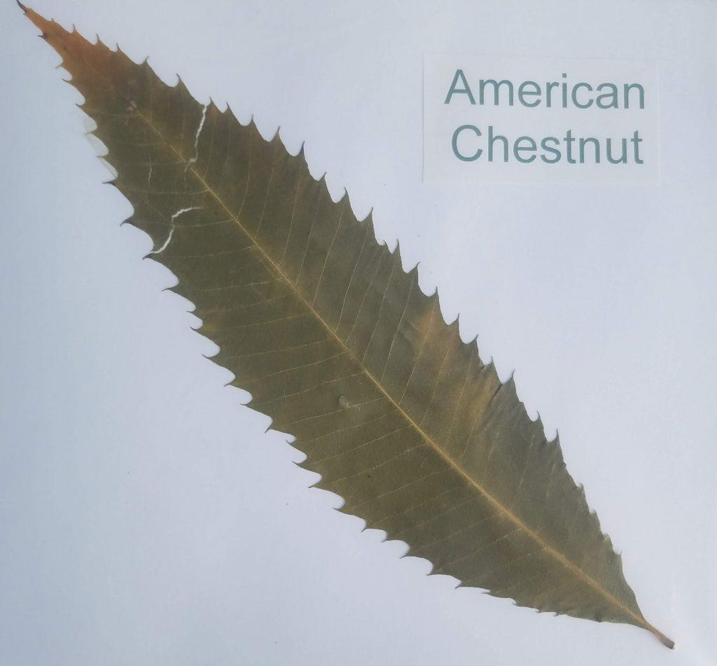 American Chestnut - Castanea dentata - Beech - Pinnate