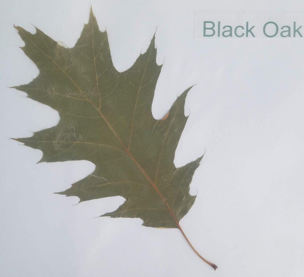 Black Oak - Quercus velutina - Beech - Pinnate