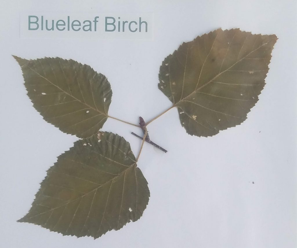 Blueleaf Birch - Betula caerulea-granadis - Birch - Pinnate