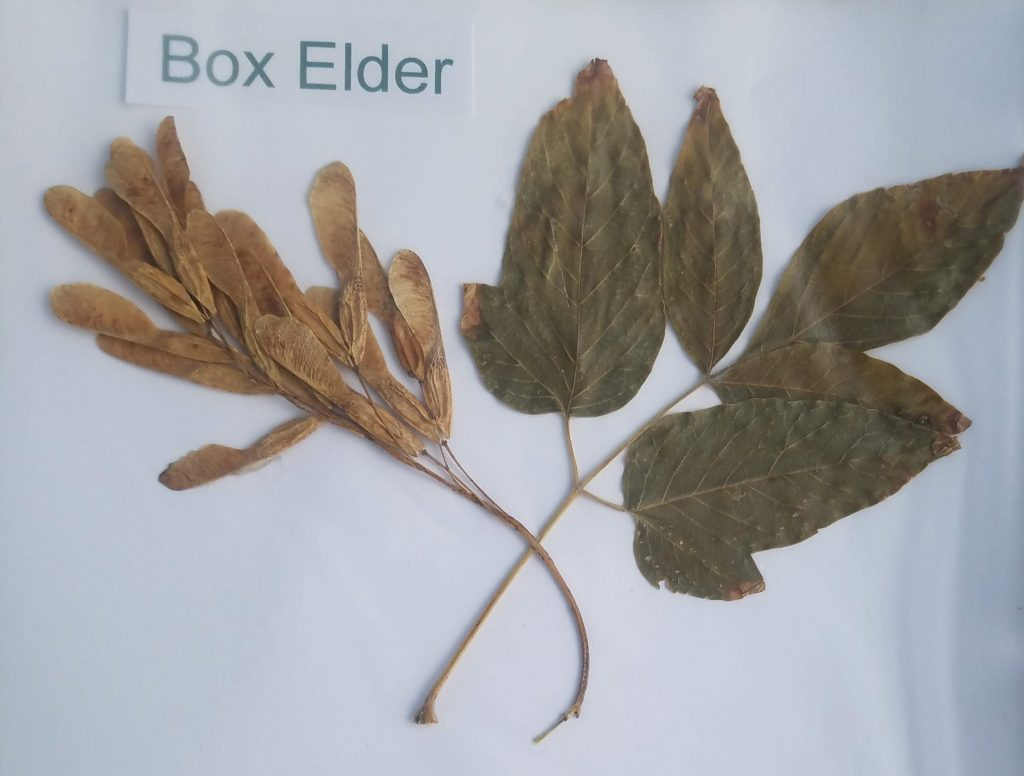 Box Elder - Acer negundo - Maple - Pinnate