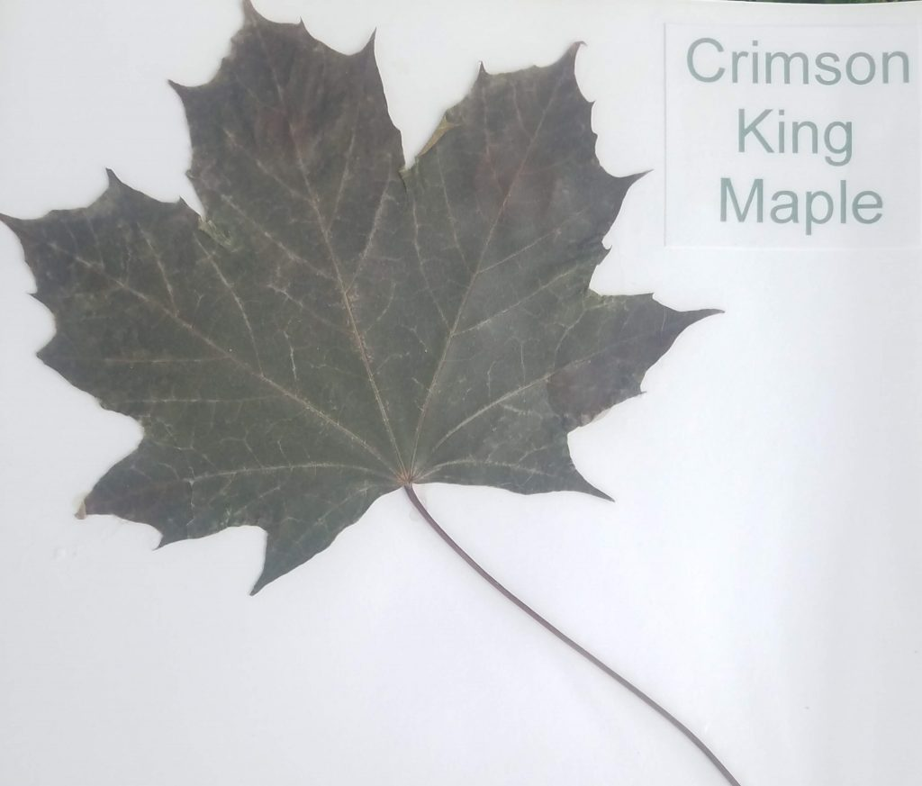 Crimson King Maple (Norway) - Acer platamoides - Maple - Palmate