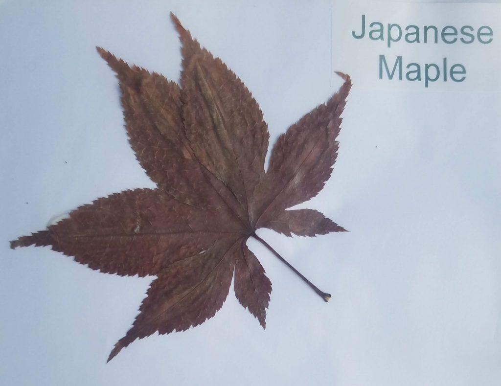 Leaves Name: Japanese Maple -Acer palmatum - Palmate
