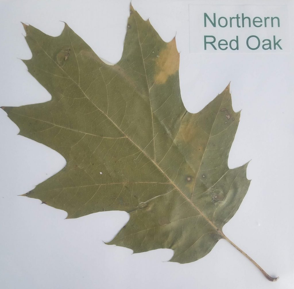 Northern Red Oak - Quercus rubra - Beech - Pinnate