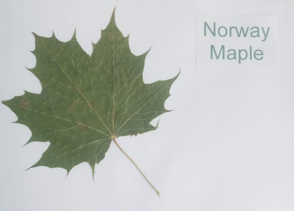 Norway Maple - Acer platanoides - Maple - Palmate