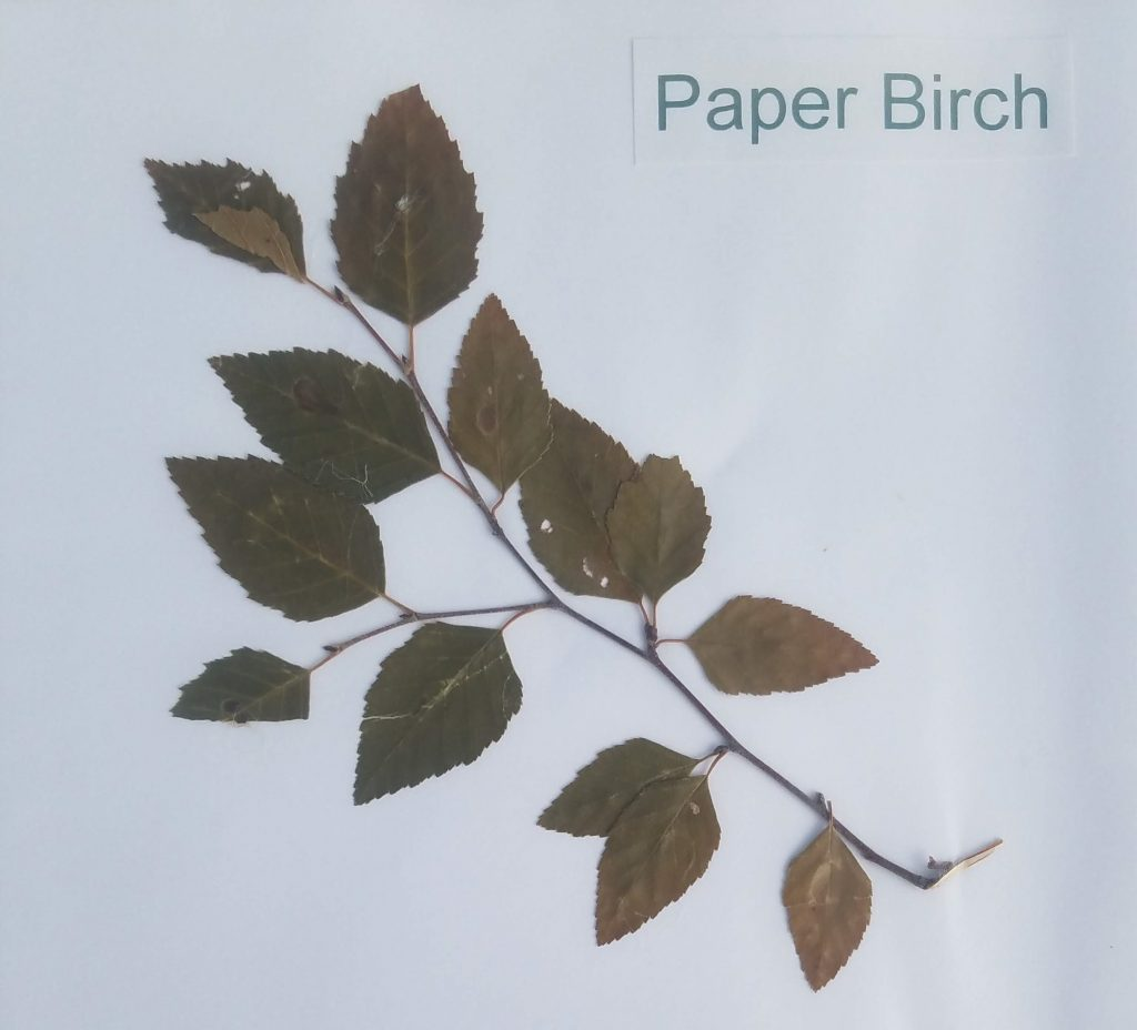 Paper Birch - Betula papyrifera - Birch - Pinnate