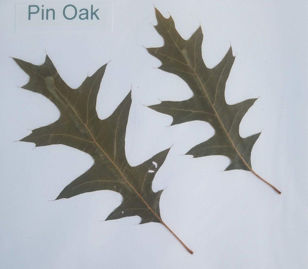 Pin Oak - Quercus nuttallii - Beech - Pinnate