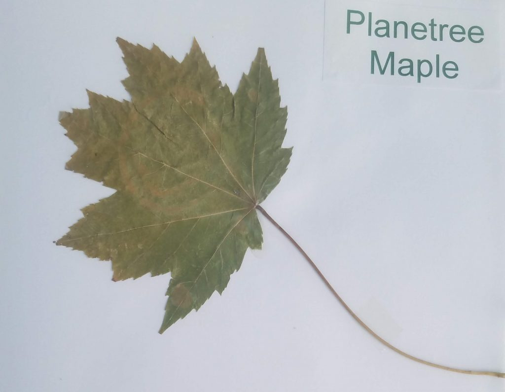 Planetree Maple - Acer pseudoplatanus - Maple - Palmate