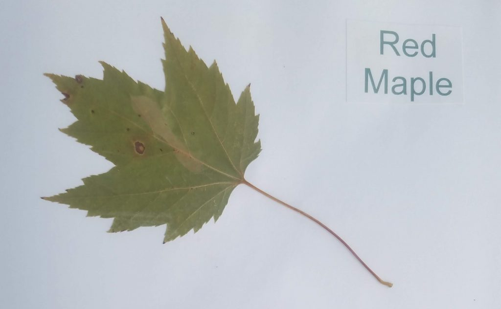 Red Maple - Acer rubrum - Maple - Palmate