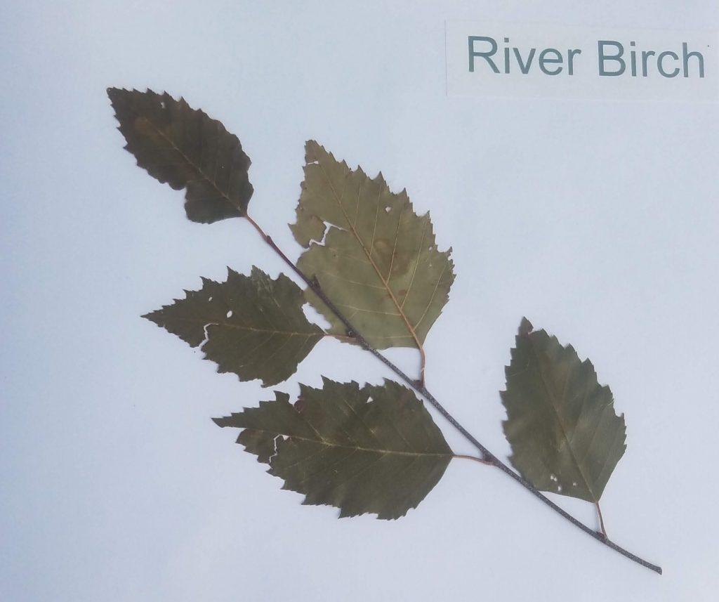 River Birch - Betula nigra - Birch - Pinnate