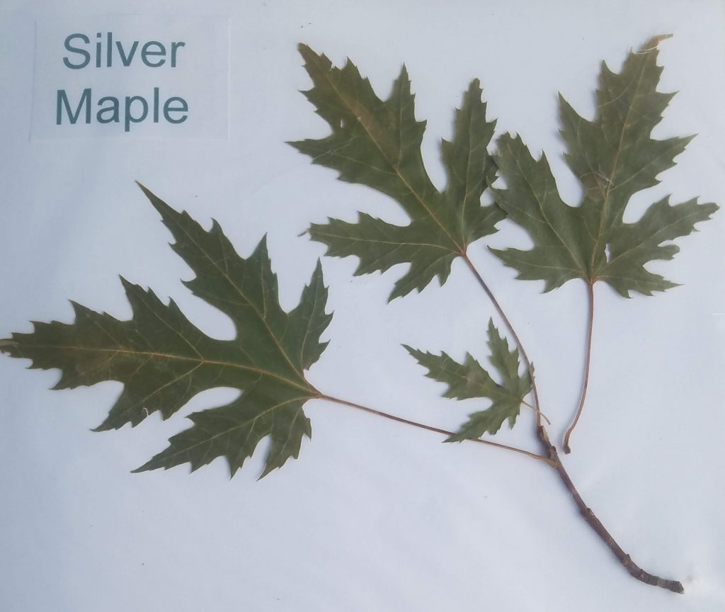 Silver Maple - Acer saccharinum- palmate