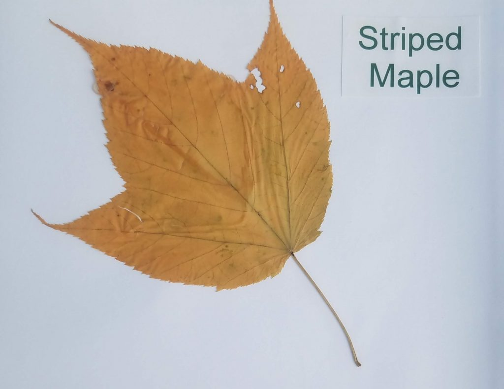 Striped Maple - Acer pensylvanicum - Maple - Palmate