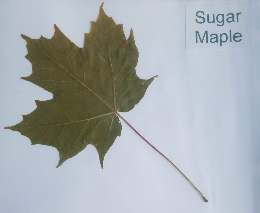 Sugar Maple - Acer saccharum - Maple - Palmate