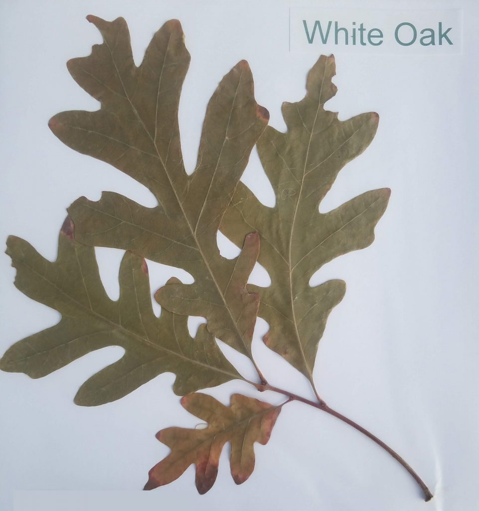 White Oak - Quercus alba - Beech - Pinnate